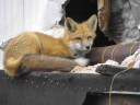 Red fox using the building and building material as shelter at the former Tundra mine site